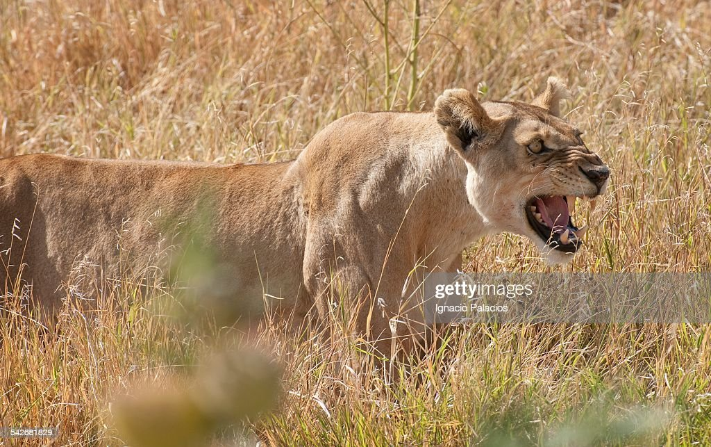 Lioness Panthera Leo In The Serengeti National Par Stock Photo