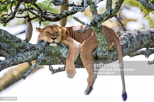 lioness panthera leo - photostock stock pictures, royalty-free photos & images