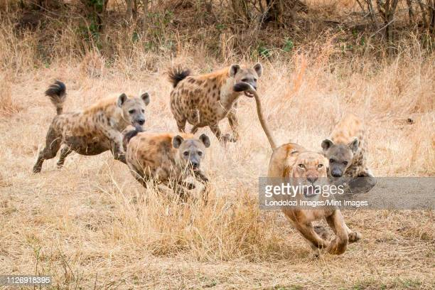 a lioness, panthera leo, runs away with its tail up, wide eyed and mouth open as four spotted hyena, crocuta crocuta, chase after it in dry yellow grass - wild dog stock pictures, royalty-free photos & images