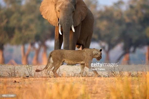 Lioness - Panthera leo - walking past African elephant bull - Loxodonta africana,  Mana Pools National Park, Zimbabwe, Africa