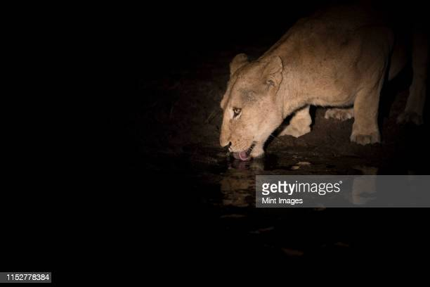 a lioness, panthera pardus, crouches down at night and drinks from a waterhole, tongue out, lit up by spotlight - 自然保護区 ストックフォトと画像