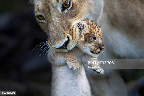 lioness picking up a cub in her mouth - female animal stock pictures, royalty-free photos & images