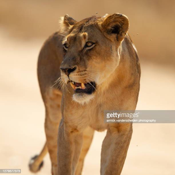 lioness - mpumalanga province stock pictures, royalty-free photos & images