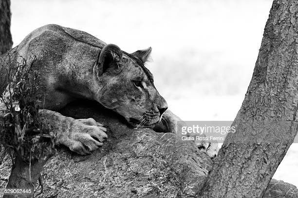 lioness - thailandia stock photos and pictures