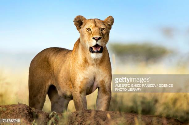 lioness - lioness stock pictures, royalty-free photos & images