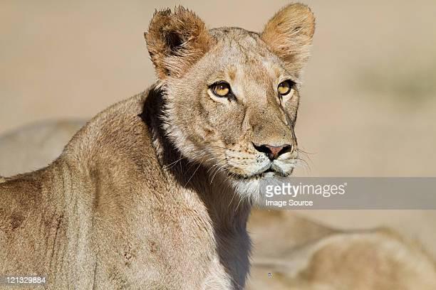 雌ライオン、ポートレート