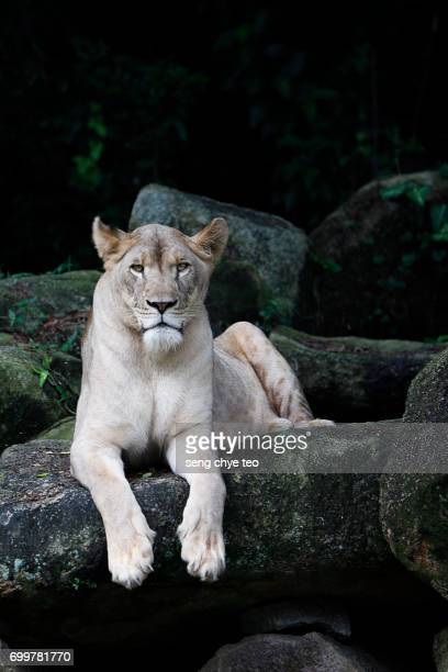 lioness portrait - lioness stock pictures, royalty-free photos & images
