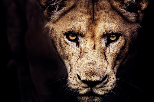 Lioness portrait 869175050