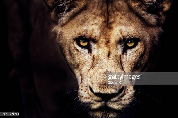 lioness portrait - lion feline stock pictures, royalty-free photos & images