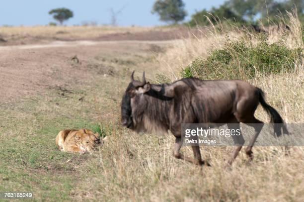 lioness (panthera leo) ready to attack a wildebeest (connochaetes taurinus), masai mara, kenya - leones cazando fotografías e imágenes de stock