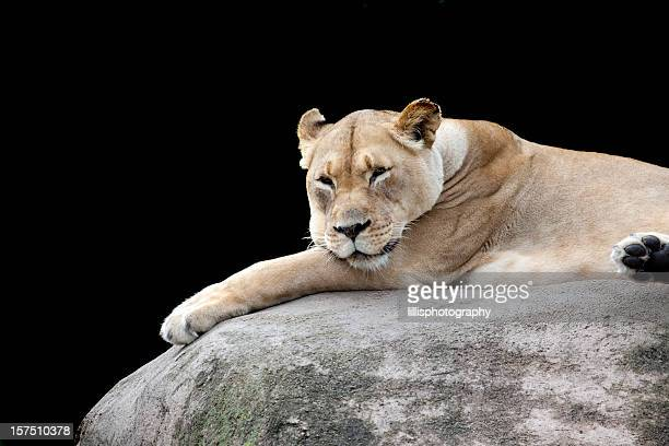 Lioness Reclining on Large Boulder
