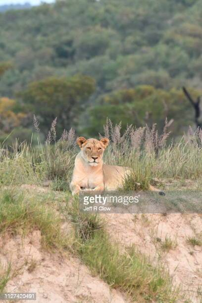 lioness relaxed in tall grasses on a hill in africa - limpopo province stock pictures, royalty-free photos & images