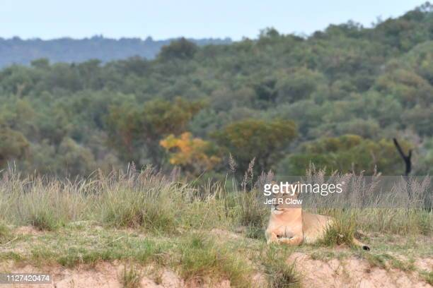 lioness relaxed in tall grasses on a hill - semiarid stock-fotos und bilder