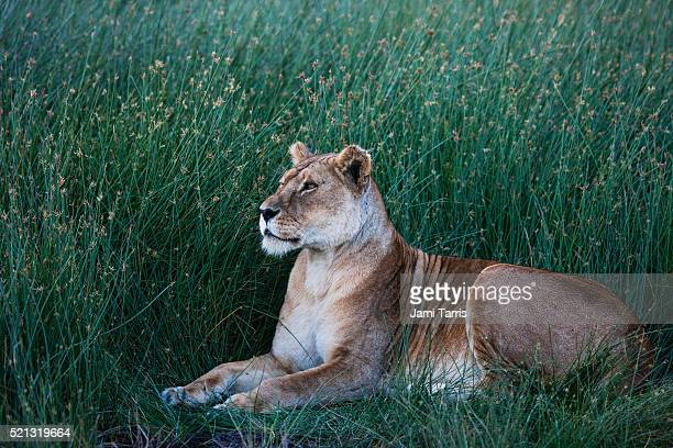 A lioness resting in the marsh of Ndutu