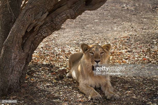 A lioness resting in the shade