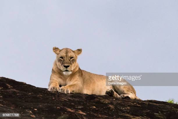 lioness (panthera leo) resting on a kopje known as lion rock in lualenyi reserve, tsavo, kenya - lioness stock pictures, royalty-free photos & images