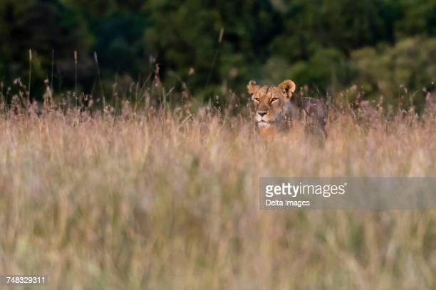 A lioness (Panthera leo),searching for her cubs in the tall grass, Masai Mara, Kenya, Africa