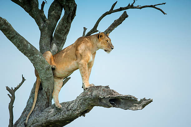 Lioness sitting in an Acacia tree, Masai Mara, Kenya