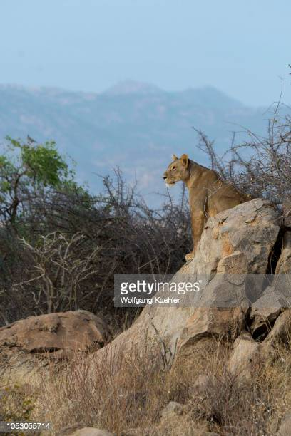 A lioness sitting on a rock is looking for prey in the Samburu National Reserve in Kenya