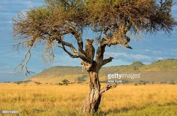 lioness (panthera leo), sitting on a tree with wild boar kill, masai mara, national park, kenya - säugetier stock-fotos und bilder