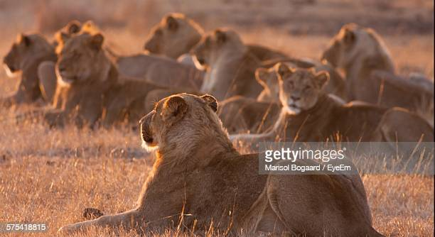 Lioness Sitting On Grass Field In Kruger National Park