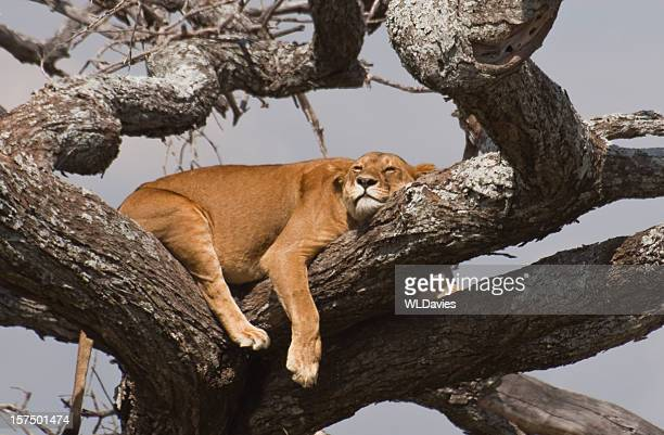 Lioness sleeping among tree branches