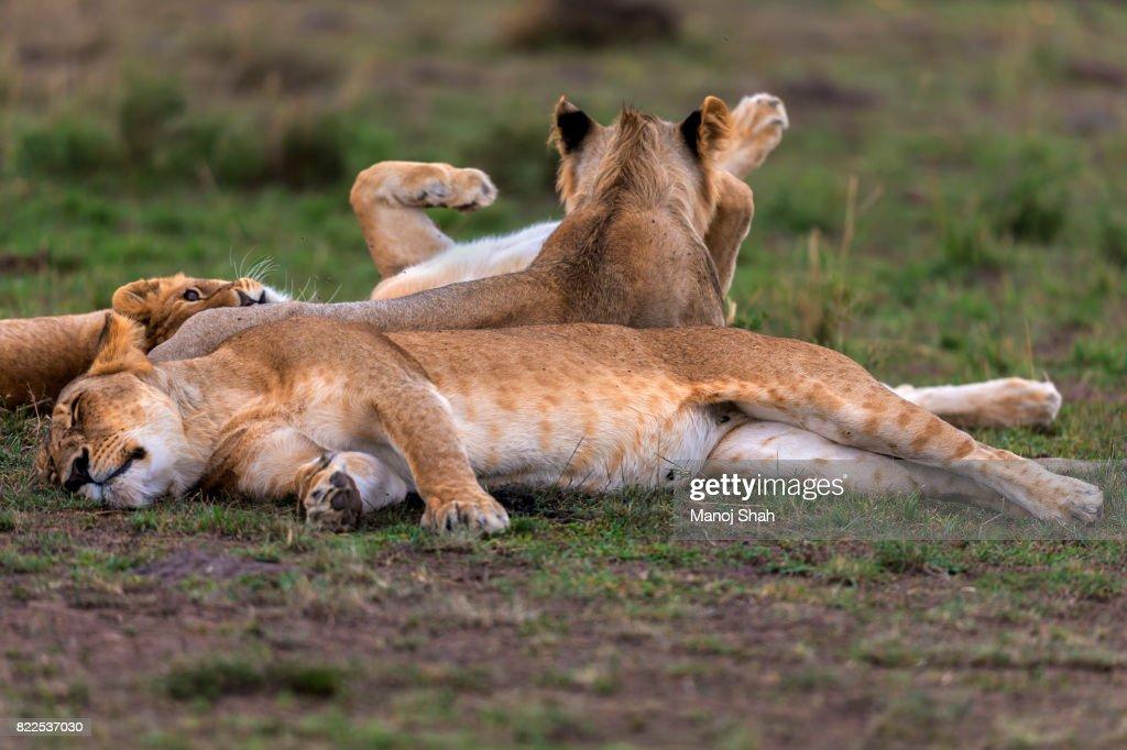 Lioness sleeping : Stock Photo