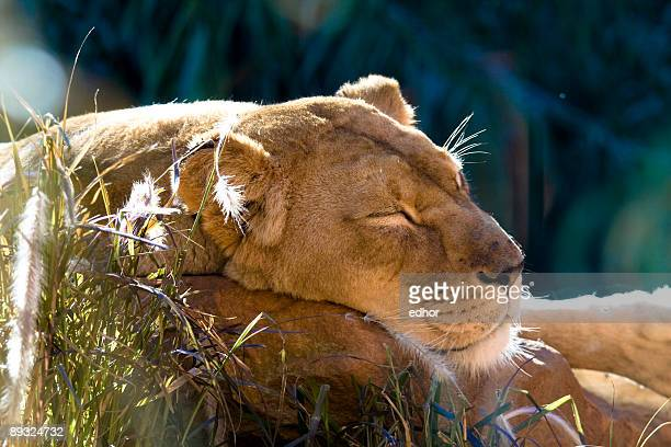 lioness sleeping - taronga zoo stock pictures, royalty-free photos & images