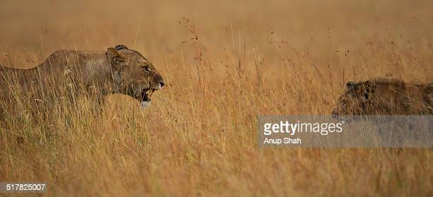 Lioness snarling at cub aged 1 year