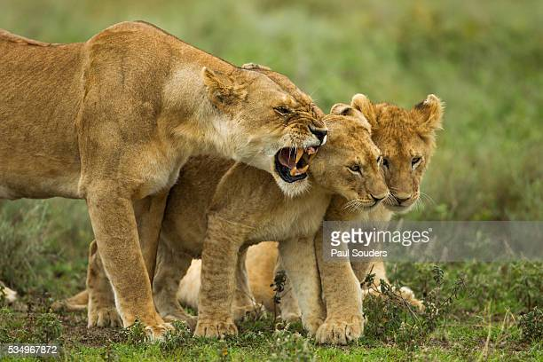 Lioness snarling at cubs