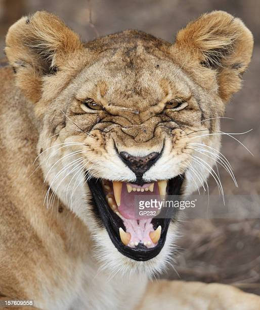 Lioness snarling