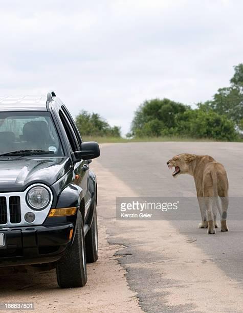 A lioness (panthera leo) snarls at a car. Kruger National Park, South Africa.