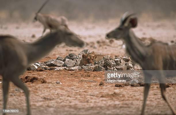 Lioness stalking kudus. Etosha National Park. Namibia.