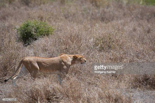 Lioness Stalking Stock Photos and Pictures | Getty Images