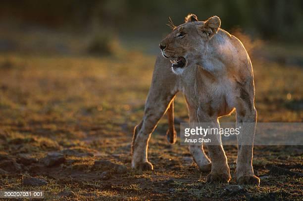 Lioness (Panthera leo) standing and snarling, Masai Mara, Kenya