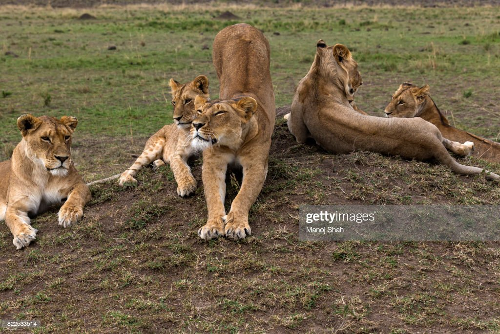 Lioness stretching herself : Stock Photo