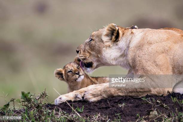 lioness taking care of lion cub in nature. - cub stock pictures, royalty-free photos & images