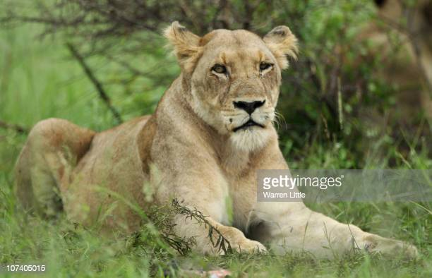 A lioness waits in the grass in the Kruger National Park in Malelane South Africa