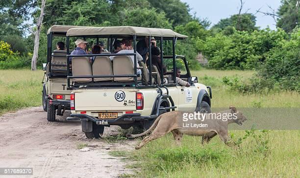 Lioness walking behind safari vehicles; Chobe_NP, Botswana, Africa