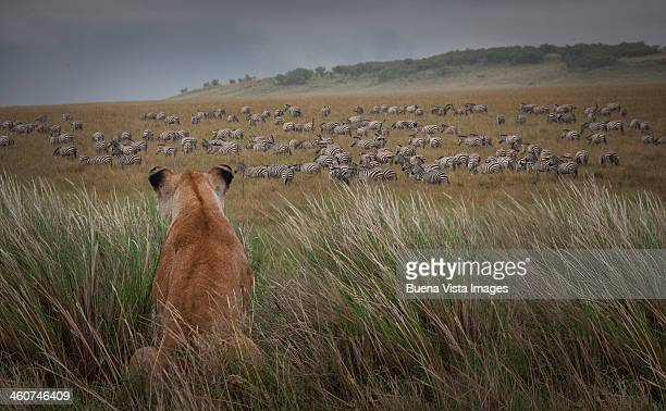 Lioness  (Panthera Leo) watching zebras