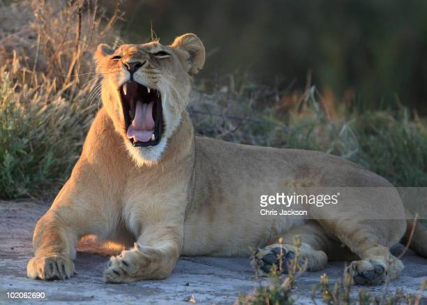 A lioness with a radio collar roars in the evening light Ngamiland District on June 10 2010 in Maun Botswana Supported by the Tusk Trust the Botswana...