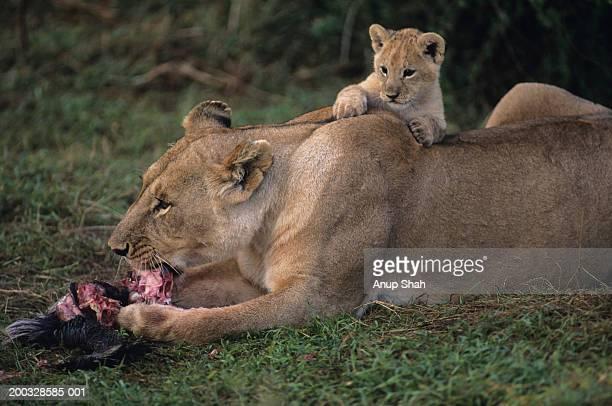 lioness (panthera leo) with cub on back, eating carrion, kenya - leones cazando fotografías e imágenes de stock