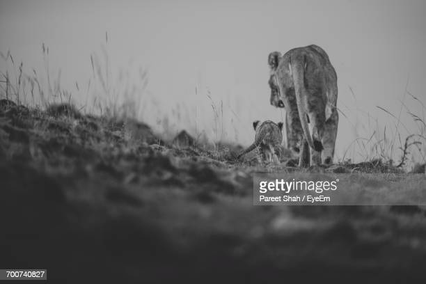 Lioness With Cub On Field Against Sky