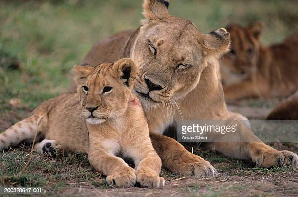 Lioness (Panthera leo) with cub, on grass savannah, Kenya