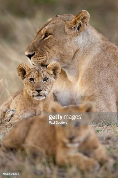 Lioness with cubs in Masai Mara National Reserve