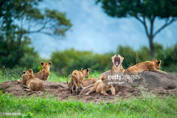 lioness with cubs in the green plains of masai mara - lion stock pictures, royalty-free photos & images