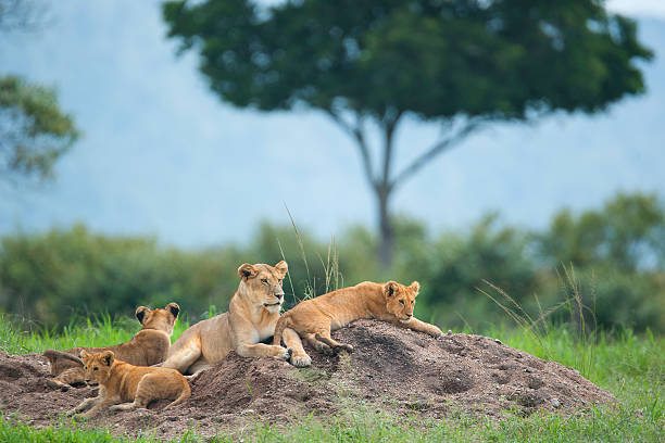 Lioness With Cubs In The Green Plains Of Masai Mara Wall Art