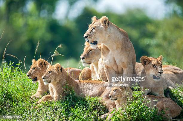 lioness with cubs in the green plains of masai mara - lion stockfoto's en -beelden