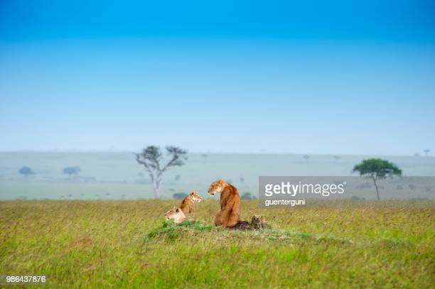 lioness with cubs in the green plains of masai mara - cub stock pictures, royalty-free photos & images