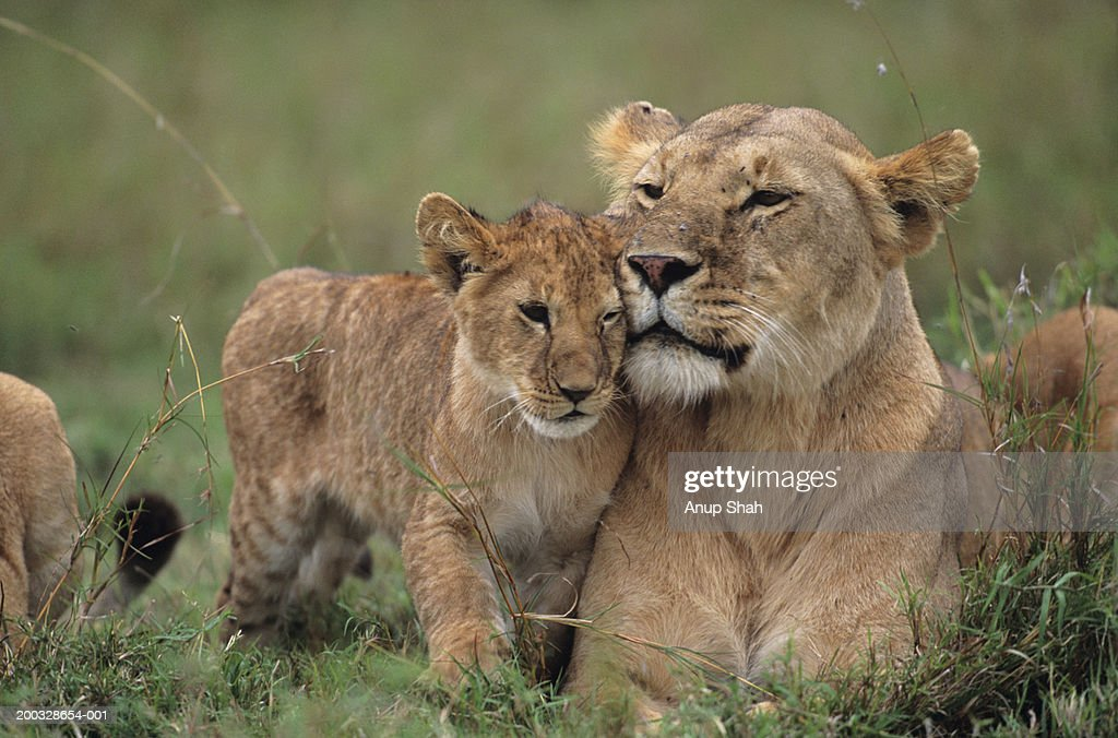 Lioness (Panthera leo) with cubs lying on grass, Kenya : Stock Photo